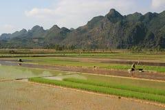 Gli agricoltori stanno lavorando nelle risaie vicino a Tam Coc (Vietnam) Immagine Stock