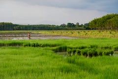 Gli agricoltori stanno piantando il riso nel campo Fotografia Stock