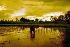 Gli agricoltori stanno piantando il riso nelle risaie Immagine Stock Libera da Diritti