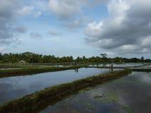 Gli agricoltori stanno piantando il riso sui campi Fotografia Stock
