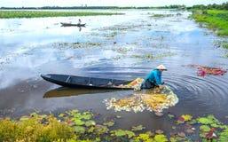 Gli agricoltori stanno pulendo i gigli dopo il raccolto sotto le paludi nella stagione dell'inondazione Immagini Stock Libere da Diritti