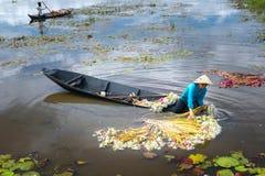 Gli agricoltori stanno pulendo i gigli dopo il raccolto sotto le paludi nella stagione dell'inondazione Fotografie Stock Libere da Diritti
