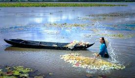 Gli agricoltori stanno pulendo i gigli dopo il raccolto sotto le paludi nella stagione dell'inondazione Immagine Stock Libera da Diritti