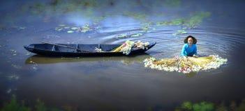Gli agricoltori stanno pulendo i gigli dopo il raccolto sotto le paludi nella stagione dell'inondazione Fotografia Stock Libera da Diritti