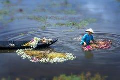 Gli agricoltori stanno pulendo i gigli dopo il raccolto sotto le paludi nella stagione dell'inondazione Fotografia Stock