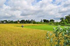 Gli agricoltori stanno raccogliendo il riso nel campo dorato in primavera, il Vietnam settembre 2014 occidentale Fotografia Stock Libera da Diritti
