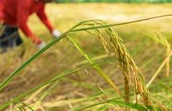 Gli agricoltori stanno raccogliendo la risaia Immagini Stock Libere da Diritti