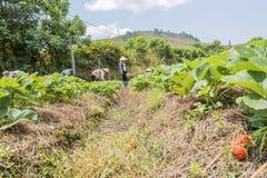 Gli agricoltori stanno raccogliendo le fragole nel campo Immagini Stock