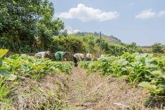 Gli agricoltori stanno raccogliendo le fragole nel campo Immagine Stock Libera da Diritti