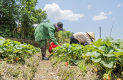 Gli agricoltori stanno raccogliendo le fragole nel campo Fotografia Stock