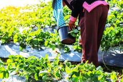 Gli agricoltori stanno selezionando le fragole in giardino Immagine Stock Libera da Diritti