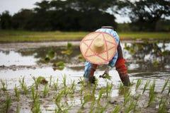 Gli agricoltori tailandesi coltivano il riso con la fluidità Fotografia Stock