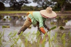 Gli agricoltori tailandesi coltivano il riso con la fluidità Fotografie Stock