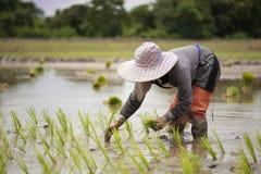 Gli agricoltori tailandesi coltivano il riso con la fluidità Immagine Stock Libera da Diritti