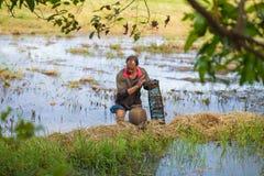 gli agricoltori tailandesi sono trappola del pesce nelle risaie Fotografie Stock