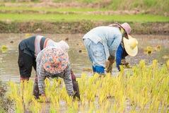 Gli agricoltori tailandesi stanno facendo l'agricoltura del riso Fotografie Stock Libere da Diritti
