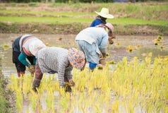 Gli agricoltori tailandesi stanno facendo l'agricoltura del riso Fotografia Stock Libera da Diritti