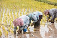 Gli agricoltori tailandesi stanno facendo l'agricoltura del riso Fotografia Stock