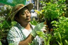 Gli agricoltori tailandesi stanno prendendo la cura di produzione agricola Immagine Stock