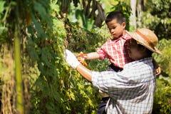Gli agricoltori tailandesi stanno prendendo la cura di produzione agricola Fotografia Stock Libera da Diritti
