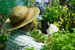 Gli agricoltori tailandesi stanno prendendo la cura di produzione agricola Fotografie Stock