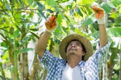 Gli agricoltori tailandesi stanno prendendo la cura di produzione agricola Fotografie Stock Libere da Diritti