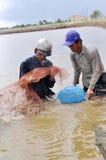 Gli agricoltori vietnamiti stanno raccogliendo i gamberetti dal loro stagno con una rete da pesca ed i piccoli canestri nella cit Fotografia Stock