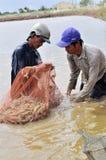 Gli agricoltori vietnamiti stanno raccogliendo i gamberetti dal loro stagno con una rete da pesca ed i piccoli canestri nella cit Fotografie Stock