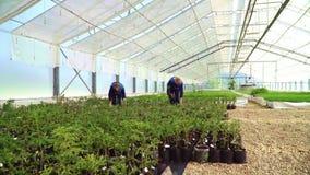 Gli agronomi lavorano in serra Le donne coltivano le piantine delle conifere archivi video