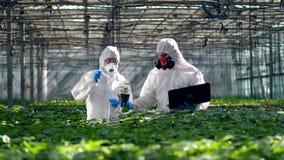 Gli agronomi stanno fertilizzando le piante della pianta con i prodotti chimici stock footage