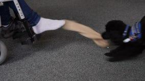 Gli aiuti del cane di assistenza si spogliano il calzino sul piede stock footage