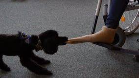 Gli aiuti del cane di assistenza si spogliano il calzino sul piede video d archivio