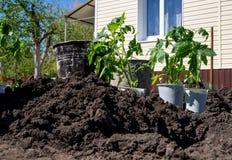 Gli alberelli del pomodoro hanno preparato per la piantatura in terra aperta Fotografie Stock Libere da Diritti