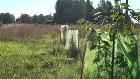Gli alberelli delle piantine degli alberi da frutto protetti dagli animali selvatici con rete in villaggio rurale fanno il giardi archivi video