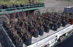 Gli alberelli delle rose in vasi neri sono sui pallet di legno Immagini Stock