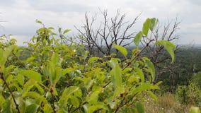 Gli alberi appassiscono muoiono nel mutamento climatico globale della foresta Catastrofe ecologica Movimento della macchina fotog archivi video