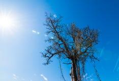 Gli alberi asciutti muoiono ed espongono al sole le ustioni con la siccità L'albero muore nel cielo blu Fotografia Stock