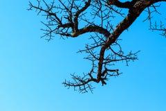 Gli alberi asciutti muoiono ed espongono al sole le ustioni con la siccità L'albero muore nel cielo blu Fotografie Stock