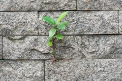 Gli alberi che coltivano sopravvivenza sulla parete Immagini Stock