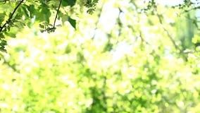 Gli alberi con bokeh accendono il fondo nel giorno di estate luminoso, usano per fondo archivi video