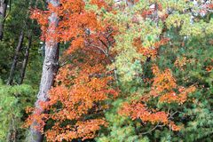 Gli alberi con la caduta hanno colorato le foglie Immagine Stock