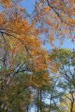 Gli alberi con le foglie variopinte Fotografie Stock Libere da Diritti