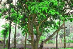 Gli alberi del litchi stanno sviluppando pieni delle foglie verdi Litchi del primo piano sull'albero nella piantagione Mazzo di l fotografie stock