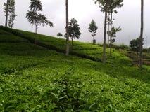 Gli alberi del tè Fotografia Stock