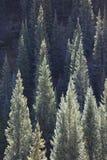 Gli alberi della conifera accesi lato in Kebler passano, vicino alla collina crestata Colorado America Fotografia Stock