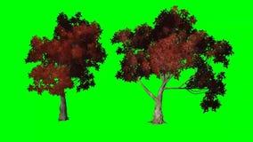Gli alberi di acero rosso si muove in vento in autunno - screenumn verde sullo schermo verde illustrazione vettoriale