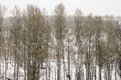 Gli alberi di Aspen nell'inverno nevicano in Colorado immagine stock