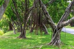 Gli alberi di banyan nel parco pubblico Immagini Stock Libere da Diritti