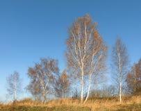 Gli alberi di betulla con la caduta colora la perdita delle loro foglie in un paese che mette un vecchio recinto ed i campi nella fotografia stock