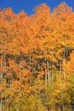 Gli alberi di betulla in oro di firey segnano l'inizio della caduta fotografie stock